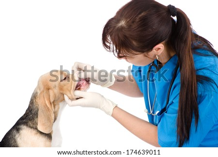 dog getting teeth examined by veterinarian. isolated on white background - stock photo