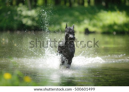 Dog Giant Schnauzer, pet walking in a summer park, bathed in the lake, runs on water