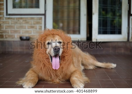 Dog Golden Lion wig.