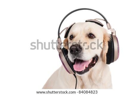 dog golden retriever in the headphones - stock photo