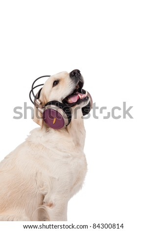 dog golden retriever in the headphones