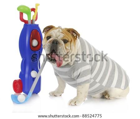 dog golfer - english bulldog playing golf on white background - stock photo