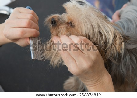 Dog grooming. Combing beard of Yorkshire Terrier.  - stock photo