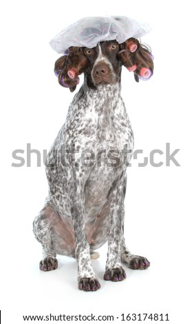 dog grooming - german shorthaired pointer at the beauty salon isolated on white background - stock photo