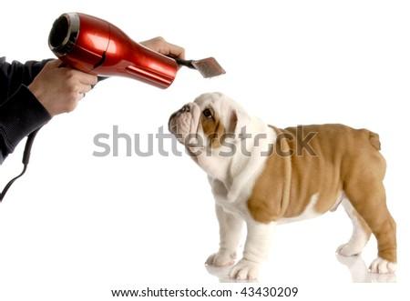 dog grooming - hands brushing nine week old english bulldog - stock photo