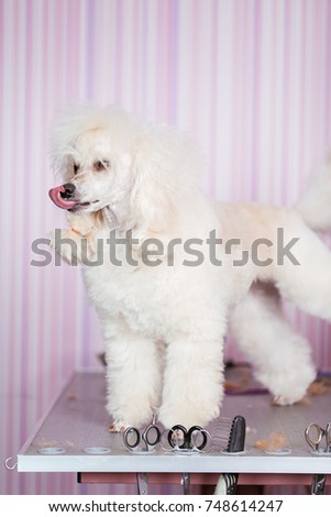 Dog Grooming Process Miniature White Poodle Stock Photo Royalty