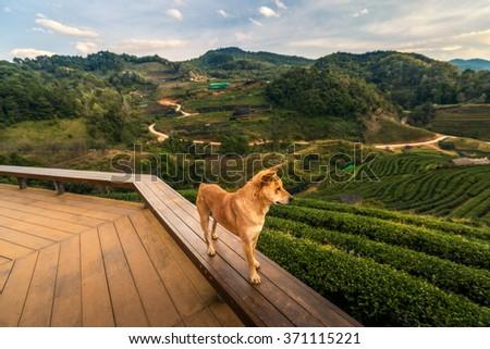 Dog guard of tea plantation in Doi Angkhang, Chiang Mai, Thailand - stock photo