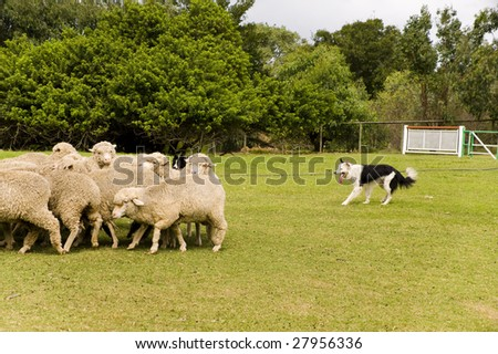 dog guarding the sheep in a farm - stock photo