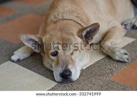 dog have one eye sad - stock photo