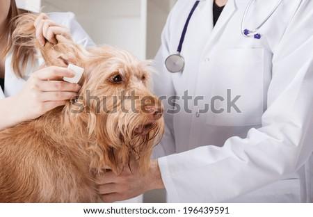 Dog having ear examination at veterinary clinic - stock photo