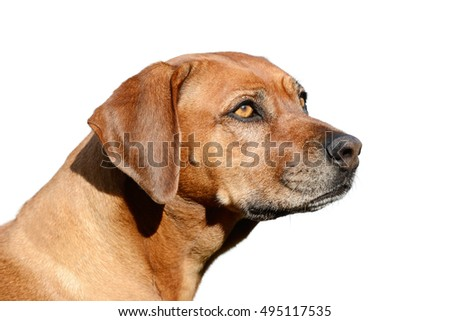 dog head isolated on white