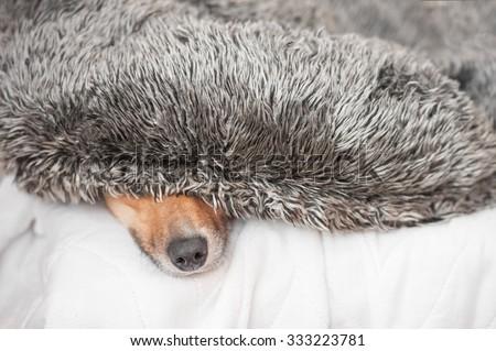 dog hiding under a fluffy cushion - shallow d.o.f. - stock photo
