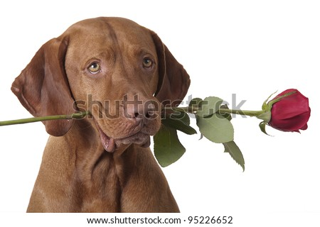 dog holding a red rose in mouth - stock photo