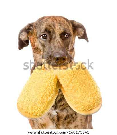 dog holding a slippers in mouth. isolated on white background - stock photo