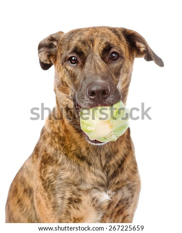 Dog holding cabbage. Isolated on white background