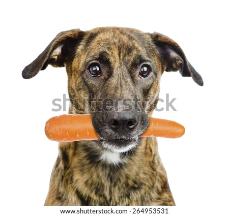 Dog holding carrot in its mouth. isolated on white background - stock photo