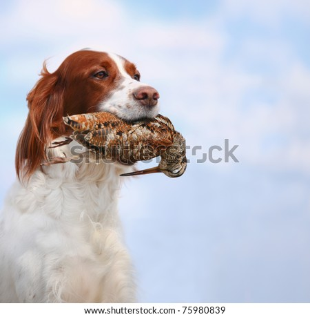 dog holds a woodcock - stock photo