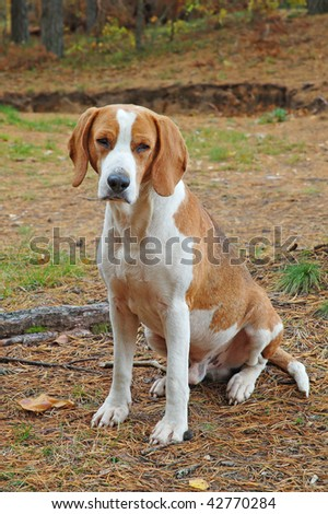 Dog hound on fallen leaves in the autumn forest - stock photo