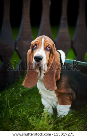 Dog hound sitting on the grass and looks at the camera - stock photo