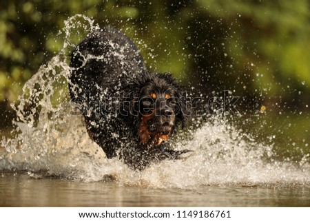 dog hovawart jump in the river