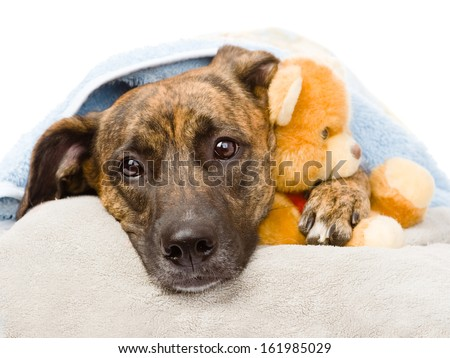 Dog hugs a stuffed toy. isolated on white background - stock photo