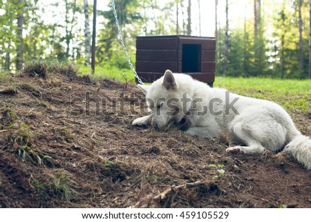 Dog husky in the forest near the doghouse on the chain