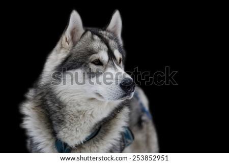 Dog husky on black background. Isolated  - stock photo