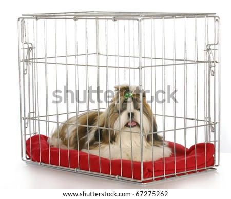 dog in a crate - purebred shih tzu puppy on white background - stock photo