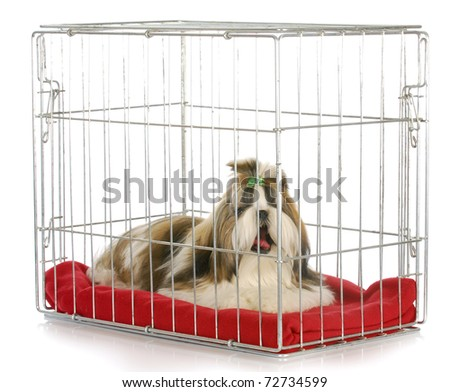 dog in a crate yawning - shih tzu bored of being crated on white background - stock photo