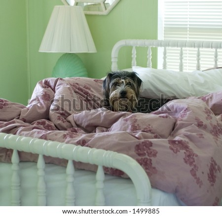 Dog in bed - stock photo