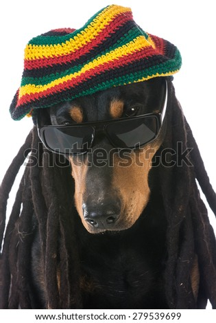 dog in costume - doberman dressed with dreadlocks on white background - stock photo