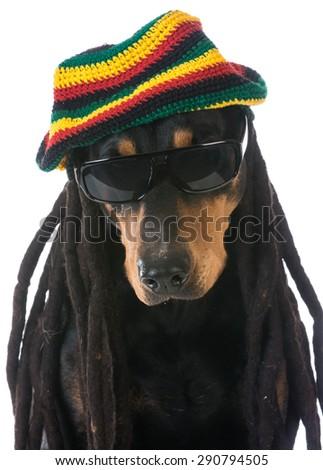 dog in costume - doberman dressed with dreadlocks on white background - stock photo