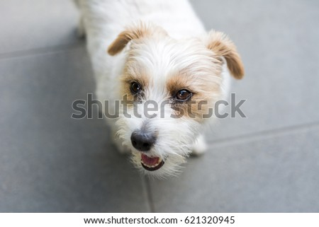 Dog in Garden in Summer - Jack Russell Terrier