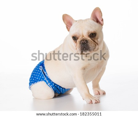 dog in heat or season wearing protective pants isolated on white background - stock photo