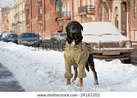 Dog in human cloth, cool winter