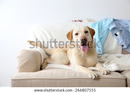 Dog in messy room, lying on sofa, close-up - stock photo