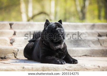 dog in nature. Black chow chow - stock photo