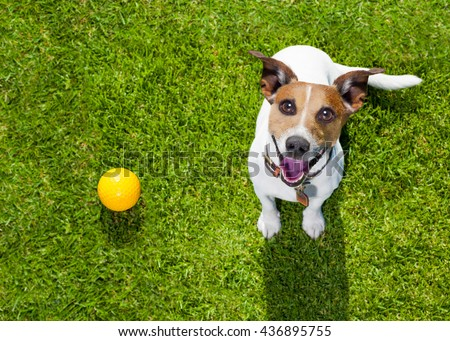 dog  in park looking up with ball  ready to play with owner