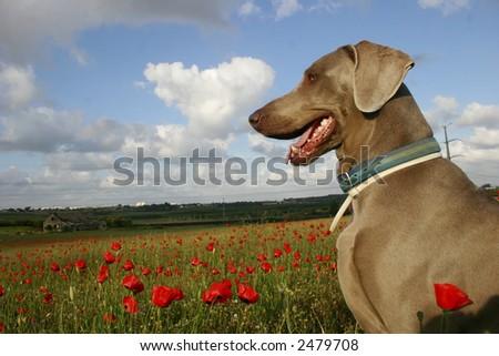 dog in poppy field - stock photo