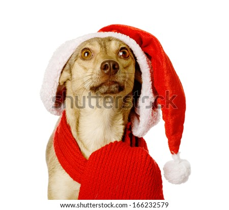 dog in red christmas Santa hat looking up. isolated on white background - stock photo