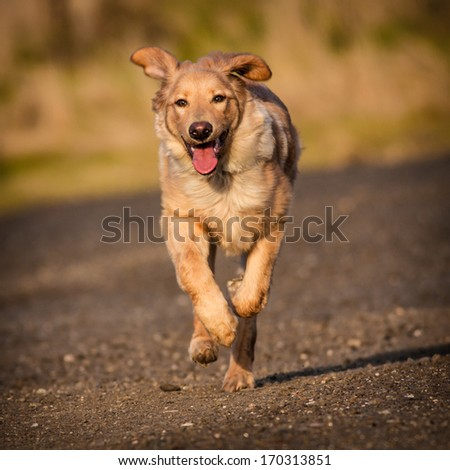 dog in running - stock photo