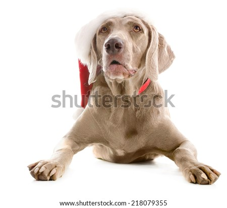 Dog in   Santa hat  isolated on a white background - stock photo
