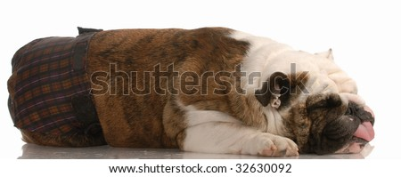 dog in season or heat - english bulldog wearing hot pants with funny expression - stock photo