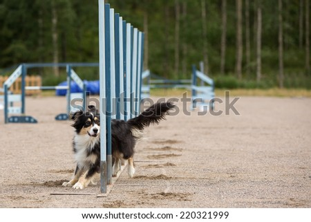 Dog in the agility competition in slalom obstacle - stock photo