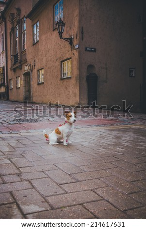 dog in the city. Riga. Jack Russell Terrier