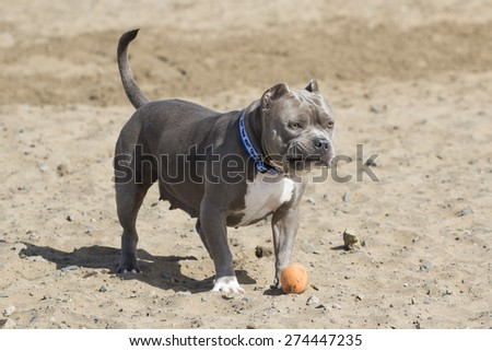Dog in the sand at the beach with a silly look on her face - stock photo