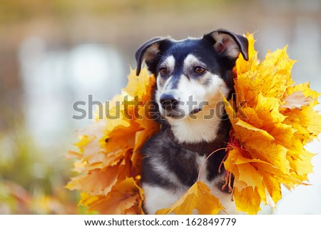 Dog in yellow autumn leaves. Not purebred dog. Doggie on walk. The large not purebred mongrel. - stock photo