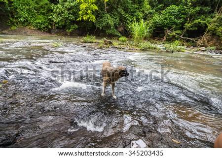 Dog inside the River in the jungle of Panama, El Valle de Anton - stock photo