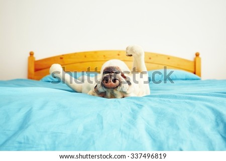Dog is lying on back on the bed - selective focus - stock photo