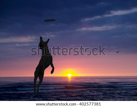 dog is playing with disc on the beach at sunset - stock photo